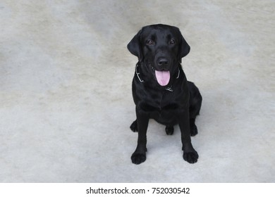 Portrait of a black labrador puppy looking at the camera. View from above with copy space.