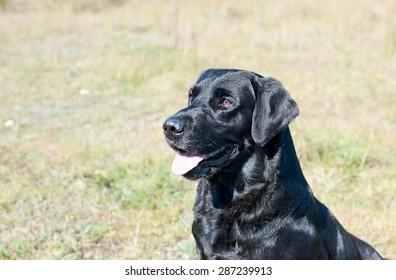 Portrait black labrador retriever