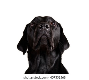 Portrait of a black Labrador Retriever looking up (isolated on white)