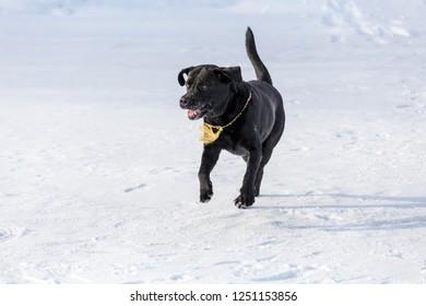 portrait of black labrador retriever running on the snow at winter landscape