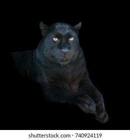 Portrait black leopard on dark background