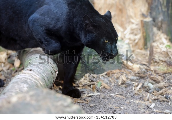 Portrait of Black leopard on fresh air