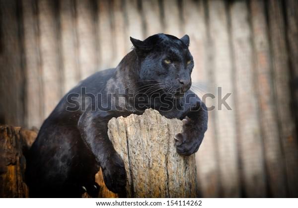 Portrait of Black leopard on fresh air