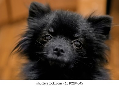 Portrait of black little pomeranian spitz dog looking at camera. Friendship, pet and care concept