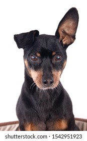 Portrait of a  black male German Pinscher dog breed  isolated over white background