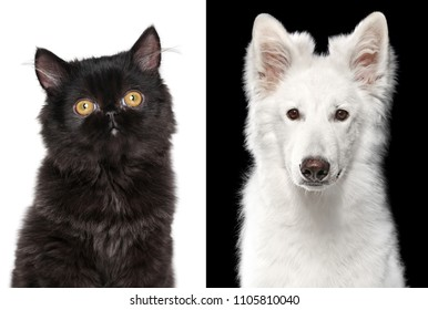 Portrait of a black Persian Cat and white Swiss shepherd dog