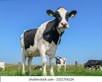 Portrait of a black pied cow, dark dots on her pink large nose, slimy saliva wisps, part of her collar hanging loose in the air and a blue sky.