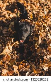 Portrait of a black puppy in the fallen leaves