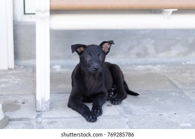 Portrait of a black puppy, looking at camera