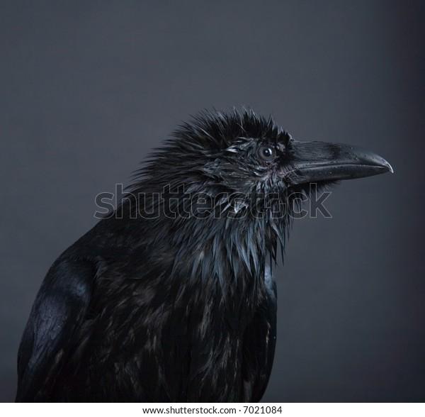 portrait of black raven on gray background