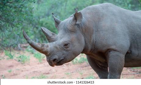 a portrait of a black rhino in the African bush