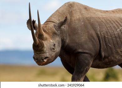 Portrait of Black Rhino Karanja in Masai Mara, Kenya
