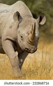 Portrait of Black Rhinoceros; Diceros bicornis