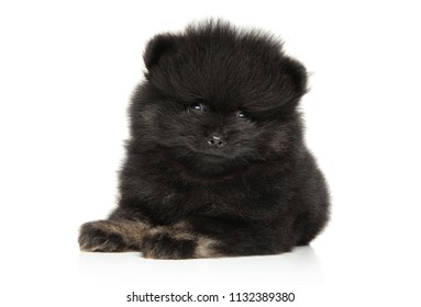 Portrait of black Spitz puppy on white background. Baby animal theme