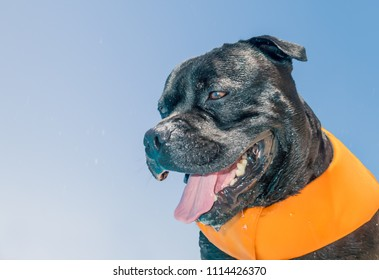 portrait of a black staffordshire bull terrier dog soaking wet and dripping wearing an orange life jacket buoyancy aid after playing by a swimming pool in summer with blue sky