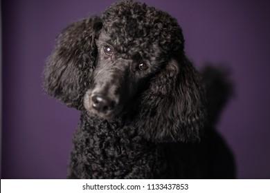 Portrait of black standard poodle cloe up