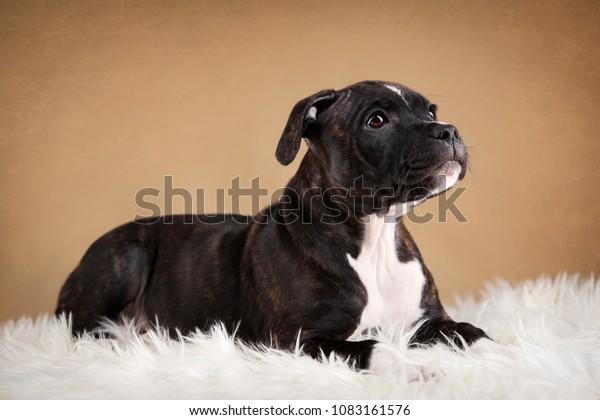 Portrait Black Striped Tiger Puppy Staffbull Stock Photo