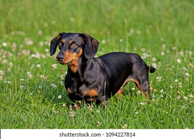 Portrait of black and tan dachshund dog