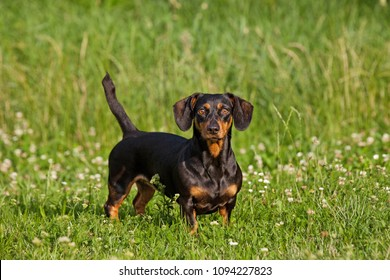 Portrait of black and tan dachshund dog in the park