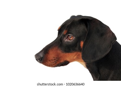 Portrait of black and tan Dachshund with smooth coat isolated on white