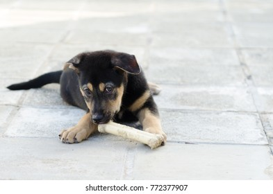 Portrait of a black and tan puppy, licking a bone