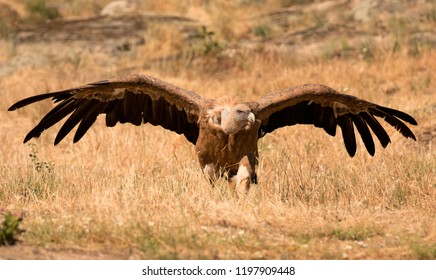 Portrait of a black vulture in the nature opening its big wings