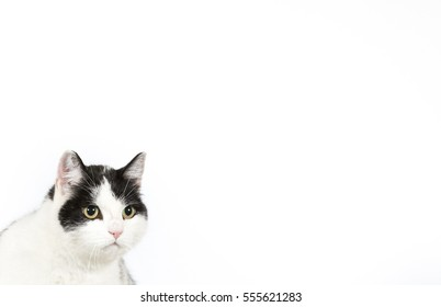 Portrait of a black and white cat isolated on a white background. Banner and Copy space.