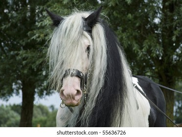 portrait of a black and white colored Irish cob (tinker horse) in harness