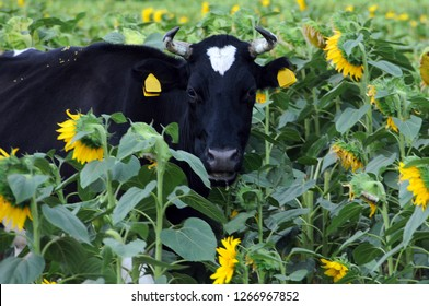 Portrait of black and white cow in the field of sunflowers