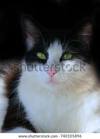 Portrait of a black and white domestic cat with green eyes relaxing in dappled shade with black background