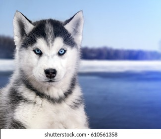Portrait black and white Husky dog in the background of the snow river