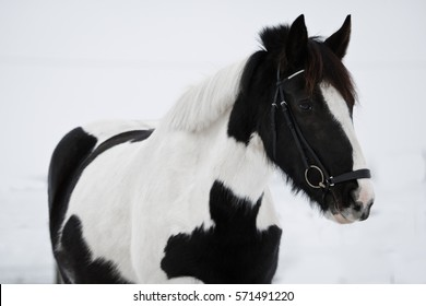 Portrait of black and white Irish Cob with bridle.