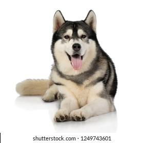 portrait of black and white siberian Husky dog isolated on white background