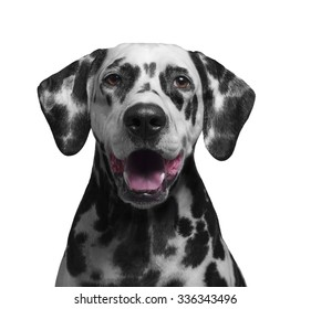 Portrait of a black and white spotted dalmatian dog breed in the red collar smiling and laughing - isolated on white