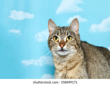 Portrait of a black and white tabby looking up to viewers left, blue background sky with clouds. Copy space