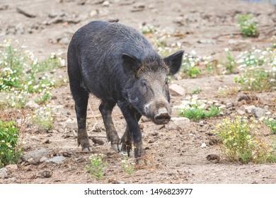 Portrait of black wild boar in nature