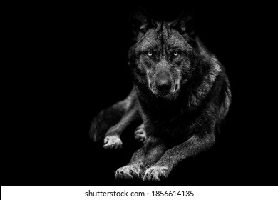 Portrait of black wolf with a black background