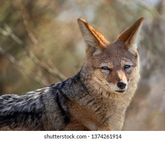 portrait of black-backed jackal