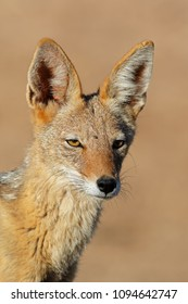 Portrait of a black-backed jackal (Canis mesomelas), Kalahari desert, South Africa