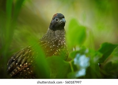 Portrait of Black-fronted Wood-quail, Odontophorus atrifrons in the forest of Sierra Nevada de Santa Marta, Colombia.