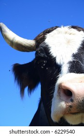Portrait of a black-white cow