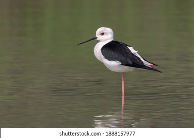 portrait of Black-winged Stilt.The black-winged stilt is a widely distributed very long-legged wader in the avocet and stilt family.