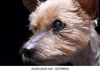 Portrait of a blind Yorkshire terrier - studio shot, isolated on black.