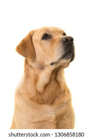 Portrait of a blond labrador dog looking up isolated on a white background