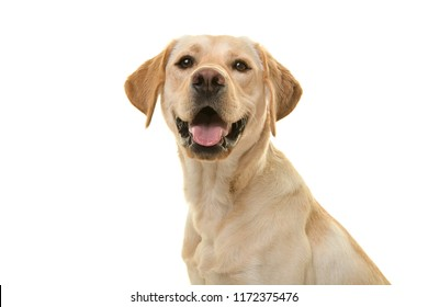 Portrait of a blond labrador retriever dog looking at the camera with mouth open seen from the side isolated on a white background