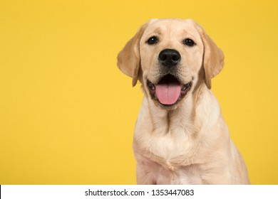 Portrait of a blond labrador retriever puppy on a yellow background