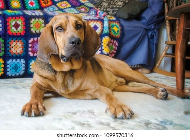 Portrait of a Bloodhound laying in front of a colourful blanket