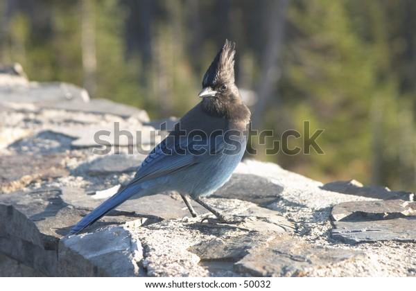 portrait of a blue bird