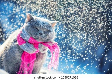 Portrait of a blue british shorthair cat, wearing knitted scarf. Cat sitting outdoors in the snow in winter during snowfall