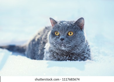 Portrait of a blue british shorthair cat sitting outdoors in the deep snow in winter